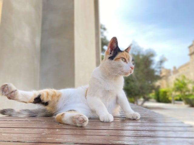 マルタ留学 猫多い かわいい